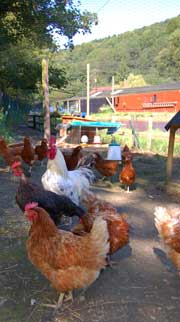 Free range hens at Chirk Trout Farm